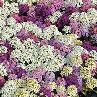 Wonderland Mix Sweet Alyssum Seeds Image