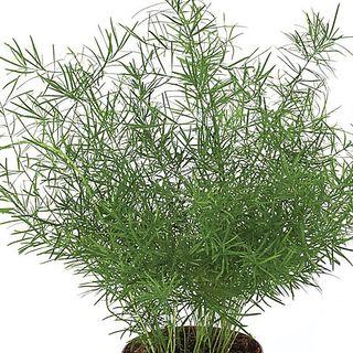 Sprengeri Asparagus Fern Seeds Image