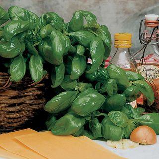 Large Leaf Italian Basil Seeds Image