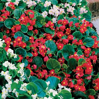 Pizzazz Red Begonia Seeds Image