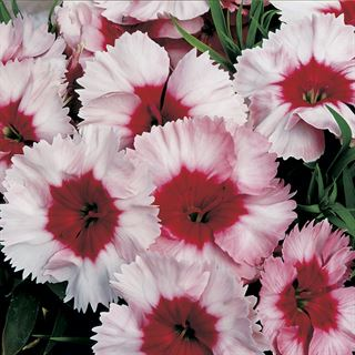 Can Can Cocktail Party Hybrid Dianthus Seeds Image