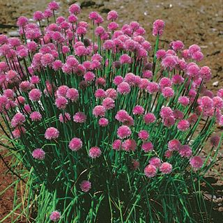 Chives Seeds Image
