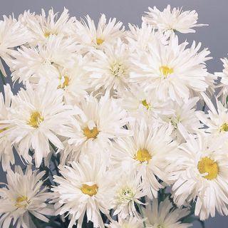 Crazy Daisy Shasta Daisy Seeds Image