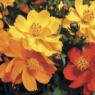 Cosmic Mix Cosmos Seeds Image