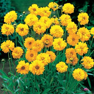 Early Sunrise Yellow Coreopsis Seeds Image