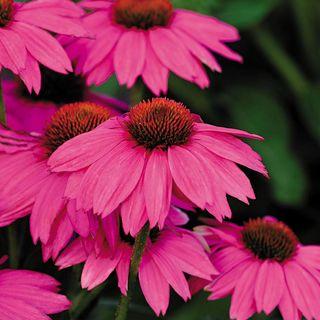 PowWow® Wild Berry Coneflower Seeds Image