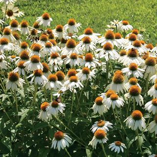 PowWow® White Coneflower Seeds Image