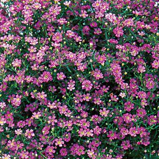 Gypsy Deep rose Hybrid Gypsophila Seeds Image