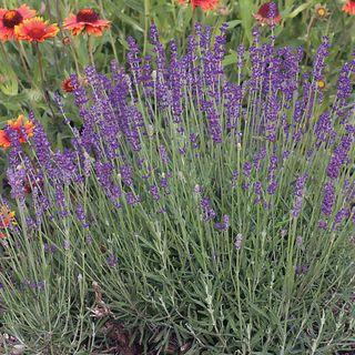 English Lavender Seeds Image