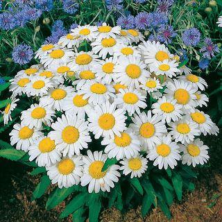 Snow Lady Shasta Daisy Seeds Image