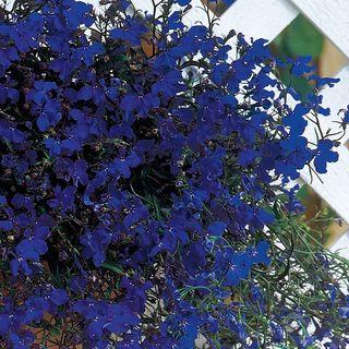 Regatta Midnight Blue Lobelia Seeds Image