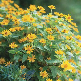 Derby® Melampodium Seeds Image