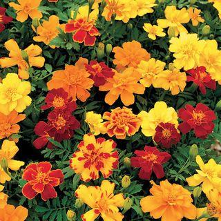 Safari Mix Marigold Seeds Image