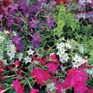 Perfume Hybrid Mix Flowering Tobacco Seeds Image