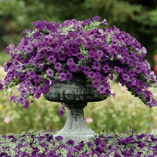 Easy Wave® Blue Petunia Seeds Image