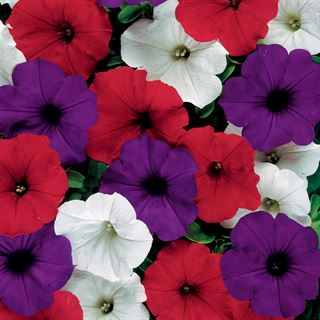 Easy Wave® The Flag Mix Petunia Seeds Image