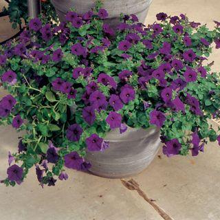 Wave® Blue Hybrid Petunia Seeds Image