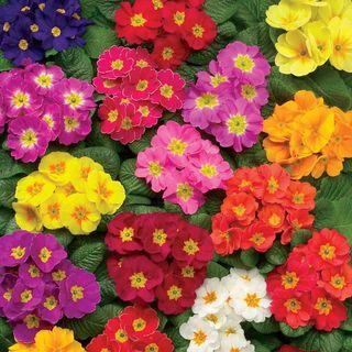 Danova Full Mix Hybrid Primula Seeds Image