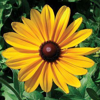 Indian Summer Rudbeckia Seeds Image