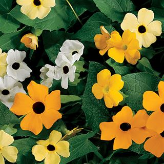 Susie™ Mix Black-Eyed Susan Vine Thunbergia Seeds Image