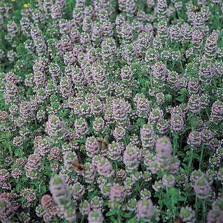English Thyme Seeds Image