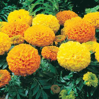 Antigua™ Mix Hybrid Marigold Seeds Image