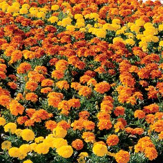 Bonanza™ Mix Marigold Seeds Image