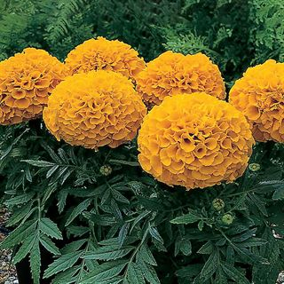 Antigua™ Orange Hybrid Marigold Seeds Image