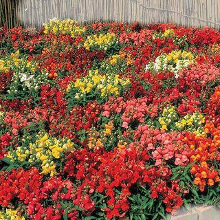 Floral Showers Hybrid Mix Snapdragon Seeds Image