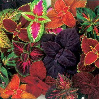 Giant Exhibition™ Complete Mix Coleus Seeds Image