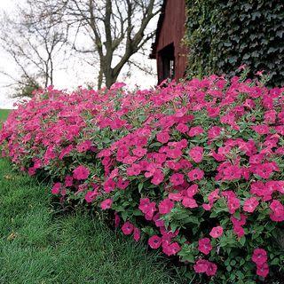 Tidal Wave® Hot Pink Petunia Seeds Image