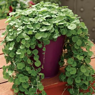 Emerald Falls Dichondra Ground Cover Seeds Image