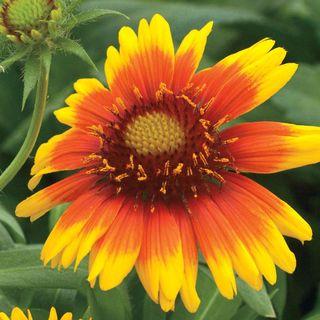 Arizona Sun Blanket Flower Seeds Image