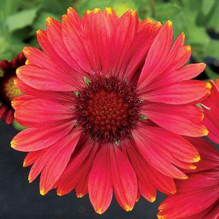 Arizona Red Shades Blanket Flower Seeds Image