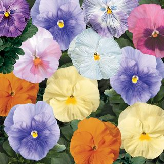 Delta™ Watercolors Mix Pansy Seeds Image