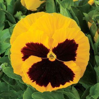 Majestic Giants II Yellow w/Blotch Hybrid Pansy Seeds Image