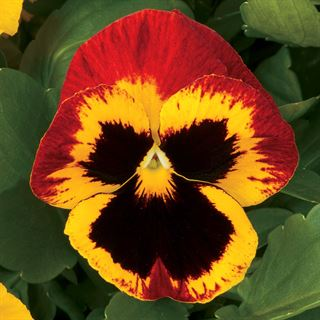 Majestic Giants ll Fire Hybrid Pansy Seeds Image