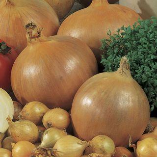 Candy Hybrid Onion Seeds Image