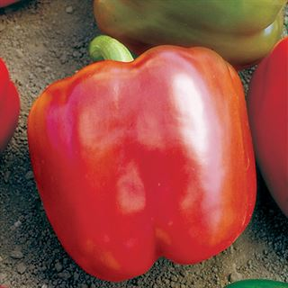 Red Knight X3R Hybrid Pepper Seeds Image