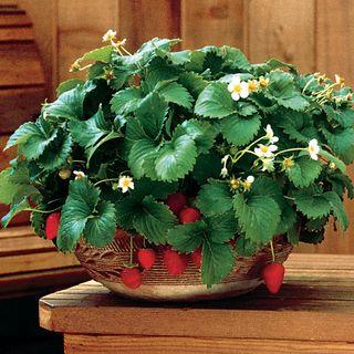Fresca Strawberry Seeds Image
