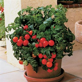 Patio Hybrid Tomato Seeds Image