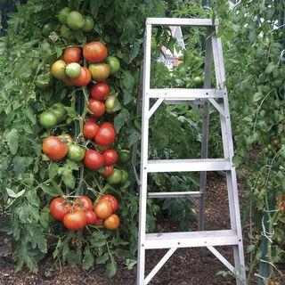 Park's Whopper CR Improved Hybrid Tomato Seeds Image