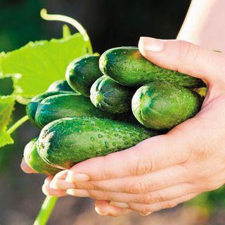 Garden Sweet Burpless Cucumber Seeds Image