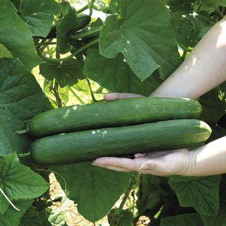 Sweet Success Hybrid Cucumber Seeds Image
