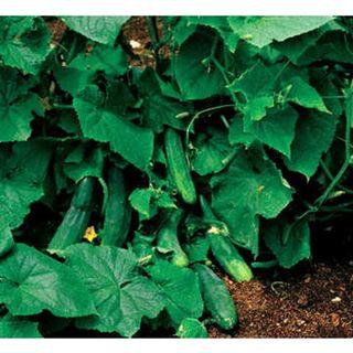 Salad Bush Hybrid Cucumber Seeds Image