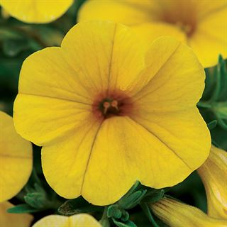 Kabloom® Yellow Calibrachoa Seeds Image