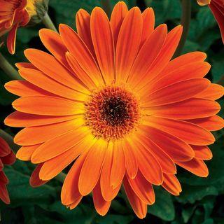 Majorette Sunset Orange Hybrid Gerbera Daisy Seeds Image