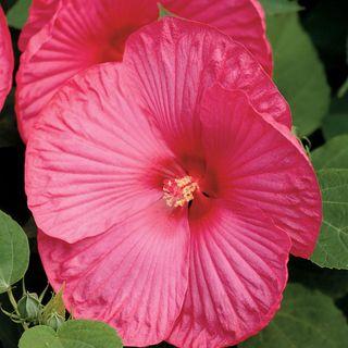 Luna™ Rose Hibiscus Seeds Image