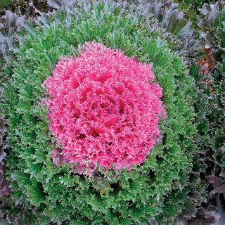 Glamour Red Ornamental Kale Seeds Image