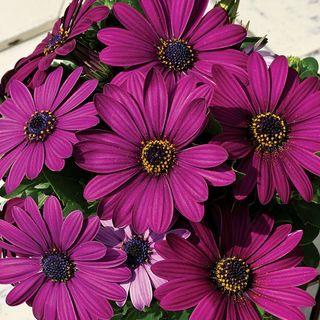 Asti™ Purple Osteospermum Seeds Image